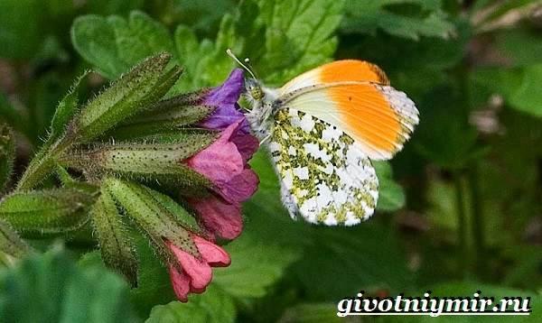 Зорька-бабочка-Образ-жизни-и-среда-обитания-бабочки-зорьки-9
