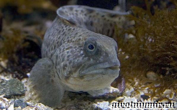 Зубатка-рыба-Образ-жизни-и-среда-обитания-зубатки-10