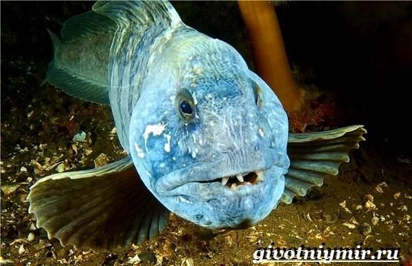 Зубатка-рыба-Образ-жизни-и-среда-обитания-зубатки-3