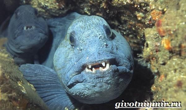 Зубатка-рыба-Образ-жизни-и-среда-обитания-зубатки-5