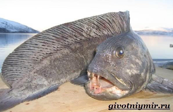 как выглядит зубатка рыба фото