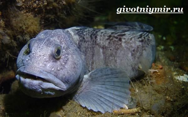 Зубатка-рыба-Образ-жизни-и-среда-обитания-зубатки-9