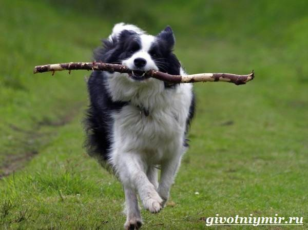 Бордер-колли-собака-Описание-особенности-уход-и-цена-бордер-колли-1