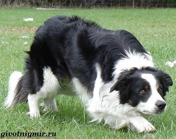 Бордер-колли-собака-Описание-особенности-уход-и-цена-бордер-колли-4