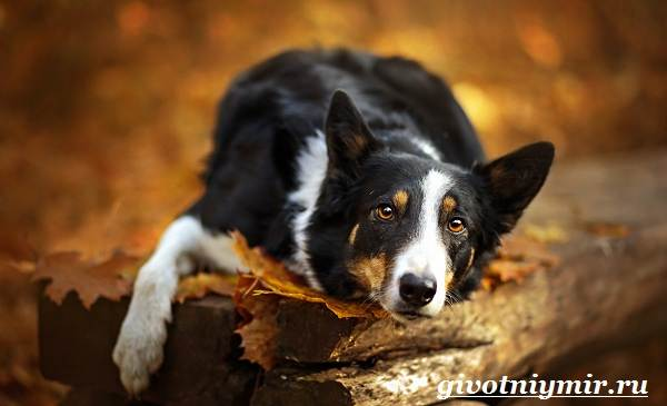 Бордер-колли-собака-Описание-особенности-уход-и-цена-бордер-колли-6