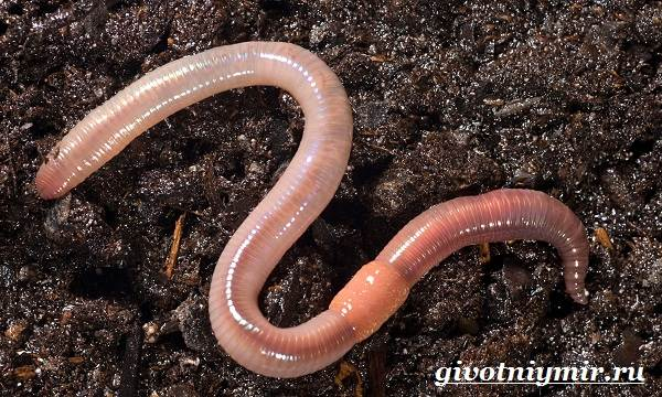 Дождевой-червь-Образ-жизни-и-среда-обитания-дождевого-червя-4