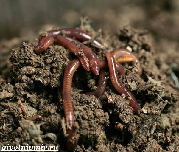 Дождевой-червь-Образ-жизни-и-среда-обитания-дождевого-червя-1