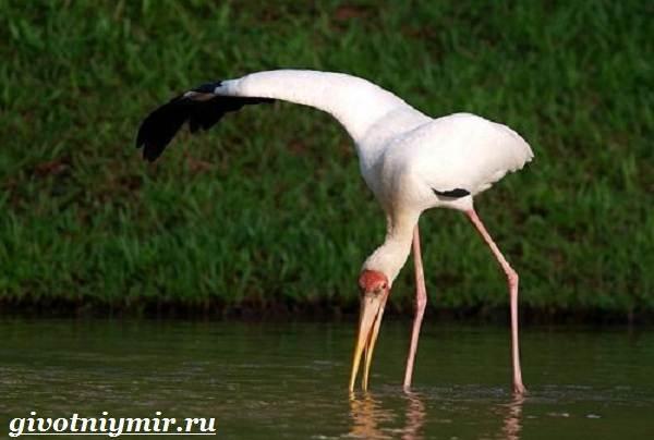 Клювач-птица-Образ-жизни-и-среда-обитания-клювача-2