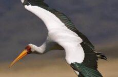 Клювач птица. Образ жизни и среда обитания клювача