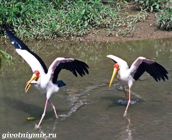 Клювач-птица-Образ-жизни-и-среда-обитания-клювача-4