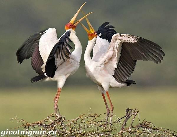 Клювач-птица-Образ-жизни-и-среда-обитания-клювача-5
