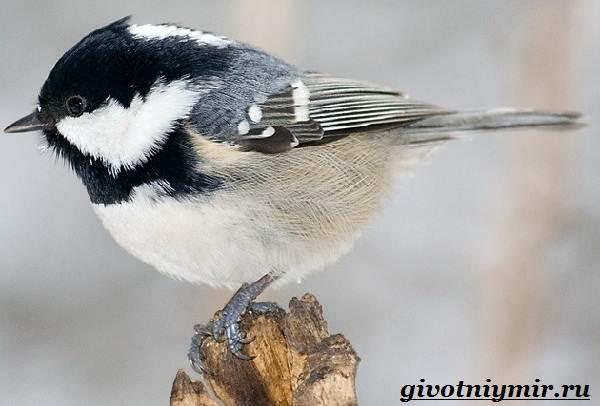 Московка-птица-Образ-жизни-и-среда-обитания-птицы-московки-1