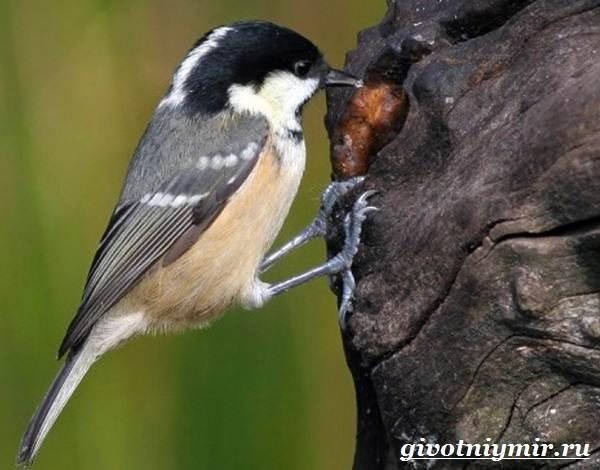Московка-птица-Образ-жизни-и-среда-обитания-птицы-московки-4