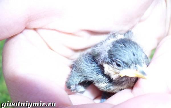 Московка-птица-Образ-жизни-и-среда-обитания-птицы-московки-5