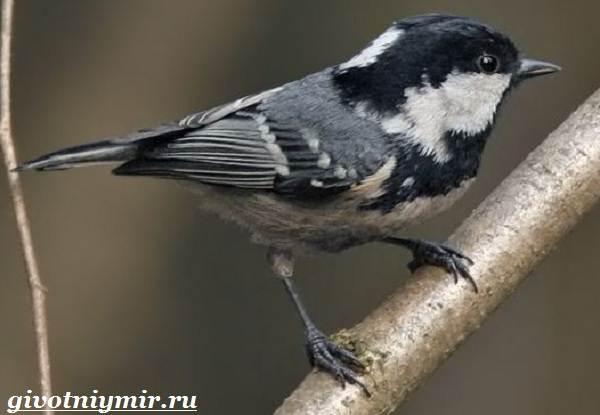 Московка-птица-Образ-жизни-и-среда-обитания-птицы-московки-6