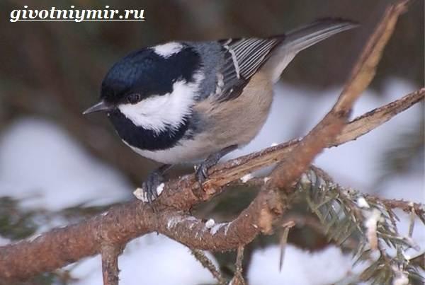 Московка-птица-Образ-жизни-и-среда-обитания-птицы-московки-7