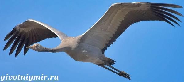 Серый-журавль-птица-Образ-жизни-и-среда-обитания-серого-журавля-2