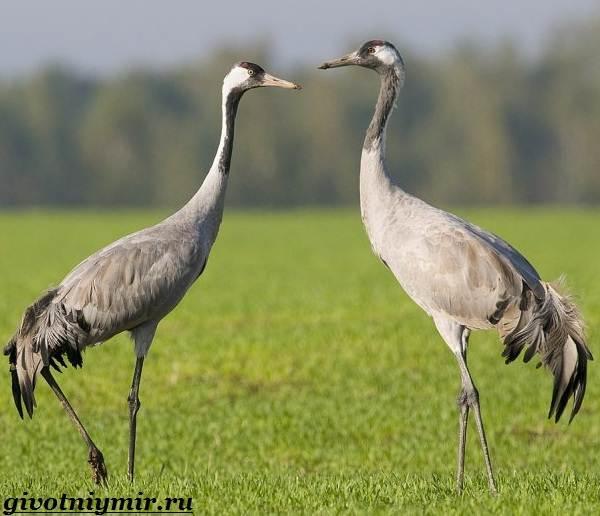 Серый-журавль-птица-Образ-жизни-и-среда-обитания-серого-журавля-3