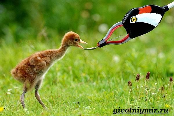 Серый-журавль-птица-Образ-жизни-и-среда-обитания-серого-журавля-5