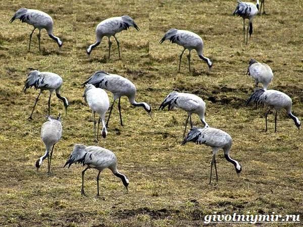 Серый-журавль-птица-Образ-жизни-и-среда-обитания-серого-журавля-6