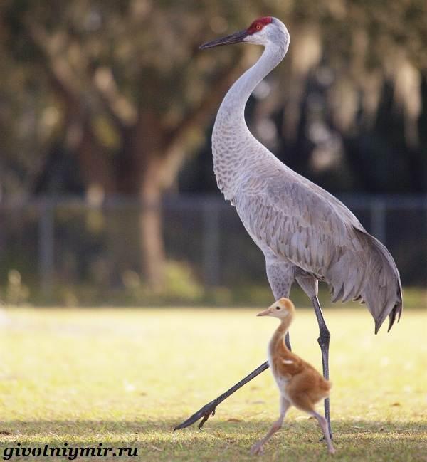 Серый-журавль-птица-Образ-жизни-и-среда-обитания-серого-журавля-7