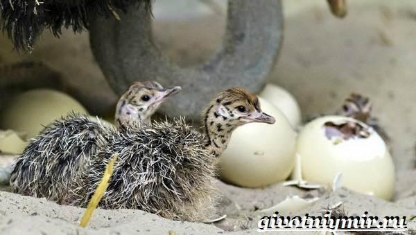 Африканский-страус-Образ-жизни-и-среда-обитания-африканского-страуса-12