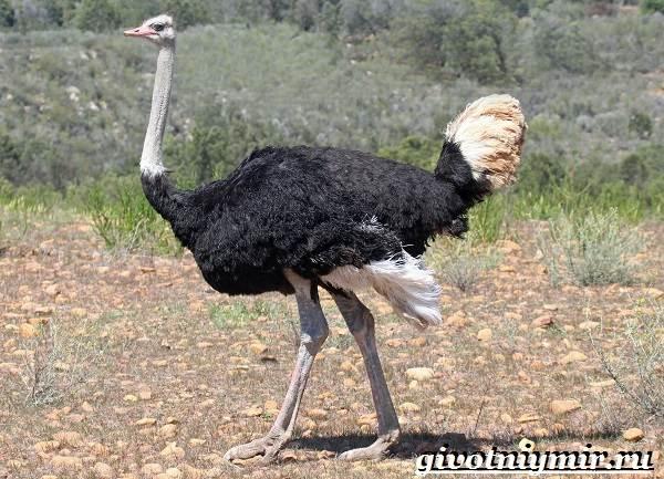 Африканский-страус-Образ-жизни-и-среда-обитания-африканского-страуса-2