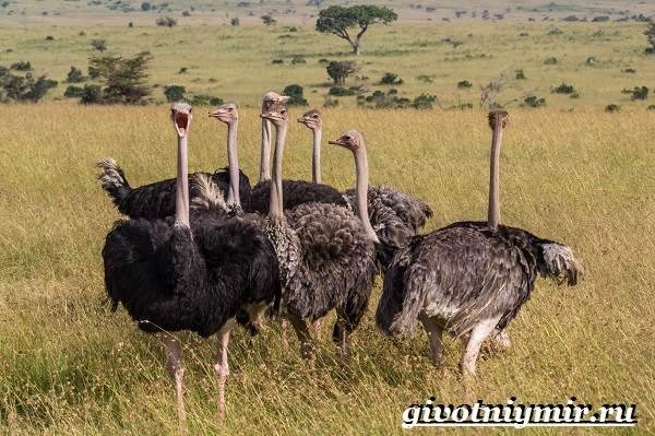 Африканский-страус-Образ-жизни-и-среда-обитания-африканского-страуса-4