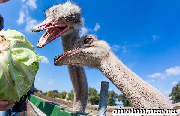 Африканский-страус-Образ-жизни-и-среда-обитания-африканского-страуса-9