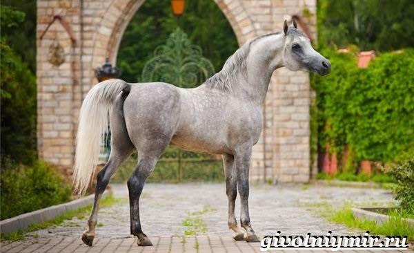 Арабская-лошадь-История-описание-уход-и-цена-арабской-лошади-2