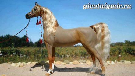 Арабская лошадь. История, описание, уход и цена арабской лошади