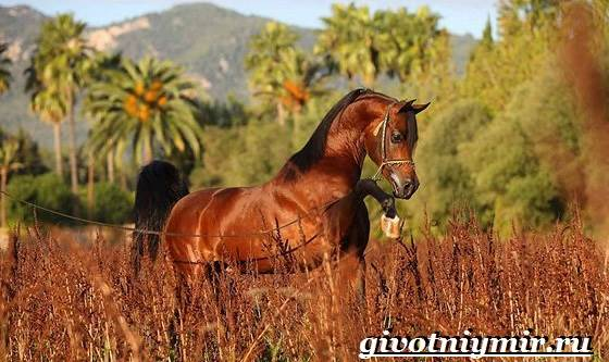 Арабская-лошадь-История-описание-уход-и-цена-арабской-лошади-5