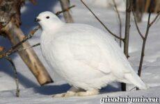 Белая куропатка птица. Образ жизни и среда обитания белой куропатки