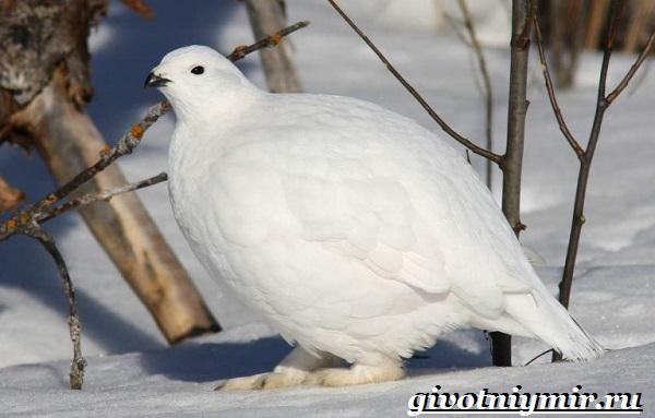 Белая-куропатка-птица-Образ-жизни-и-среда-обитания-белой-куропатки-1