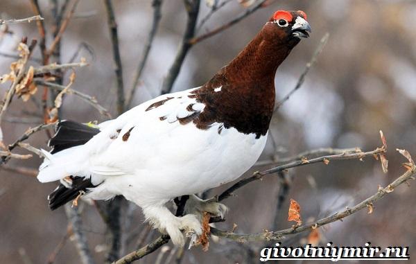 Белая-куропатка-птица-Образ-жизни-и-среда-обитания-белой-куропатки-2