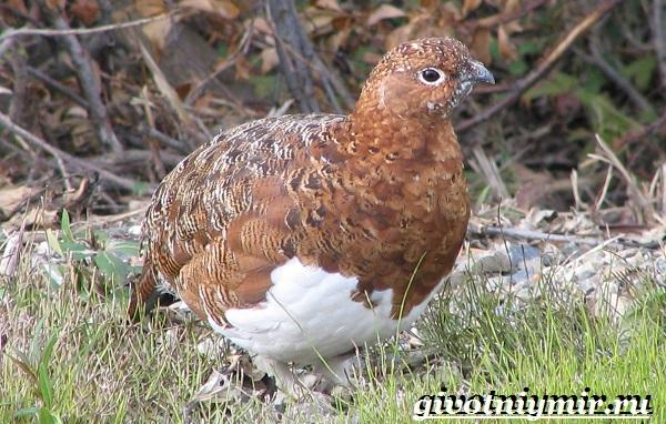 Белая-куропатка-птица-Образ-жизни-и-среда-обитания-белой-куропатки-3