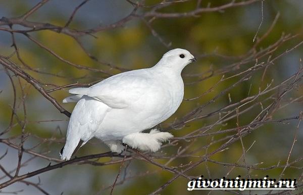 Белая-куропатка-птица-Образ-жизни-и-среда-обитания-белой-куропатки-5