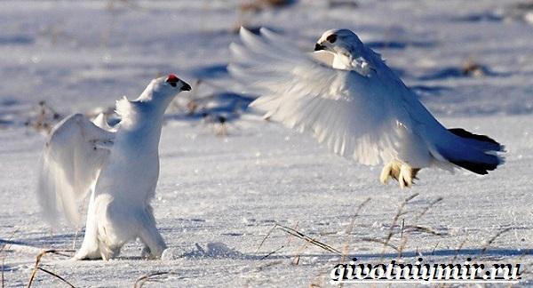 Белая-куропатка-птица-Образ-жизни-и-среда-обитания-белой-куропатки-6