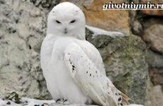 Белая сова. Образ жизни и среда обитания белой совы