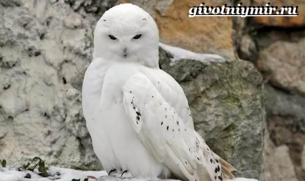 Белая-сова-Образ-жизни-и-среда-обитания-белой-совы-1