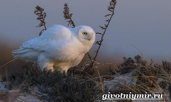 Белая-сова-Образ-жизни-и-среда-обитания-белой-совы-10