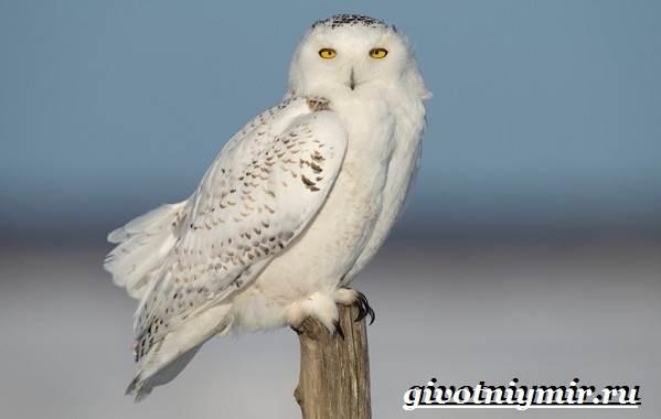 сова белая картинки