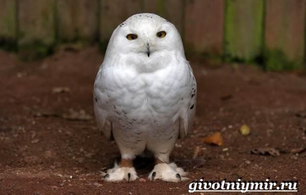 Белая-сова-Образ-жизни-и-среда-обитания-белой-совы-3