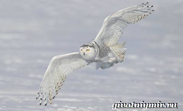 Белая-сова-Образ-жизни-и-среда-обитания-белой-совы-4