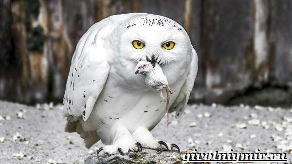 Белая-сова-Образ-жизни-и-среда-обитания-белой-совы-5