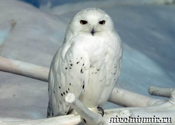 Белая-сова-Образ-жизни-и-среда-обитания-белой-совы-6