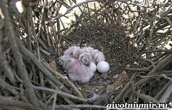 Белая-сова-Образ-жизни-и-среда-обитания-белой-совы-7