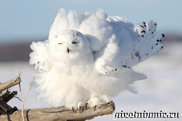 Белая-сова-Образ-жизни-и-среда-обитания-белой-совы-8