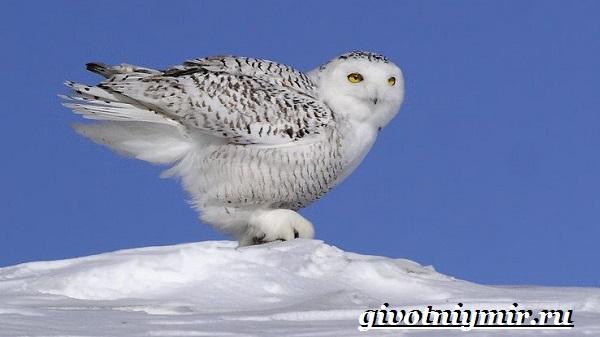 Белая-сова-Образ-жизни-и-среда-обитания-белой-совы-9