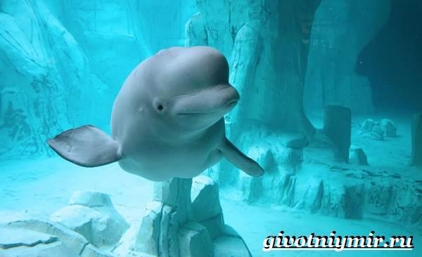 Белуха-дельфин-Образ-жизни-и-среда-обитания-белухи-5
